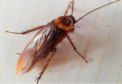 roach--waterbug-control