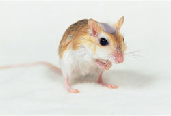 rodent-control-service